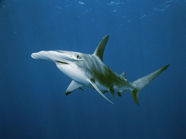 Hammerheads are aggressive hunters, feeding on smaller fish, octopuses, squid, and crustaceans. They do not actively seek out human prey, but are very defensive and will attack when provoked.