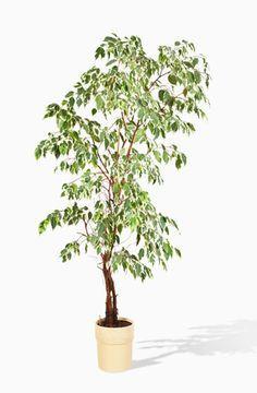 17 best ideas about ficus on pinterest ficus tree. Black Bedroom Furniture Sets. Home Design Ideas