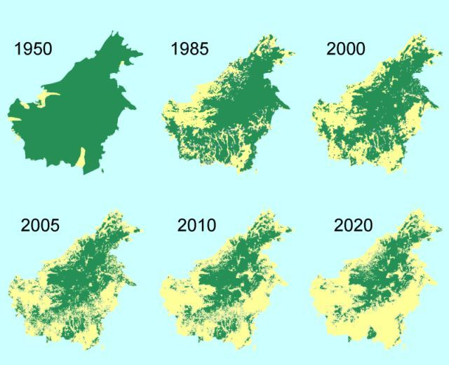 SAY NO TO PALM OIL. The shrinking forest cover in Borneo threatens orangutans and many other rainforest animals.