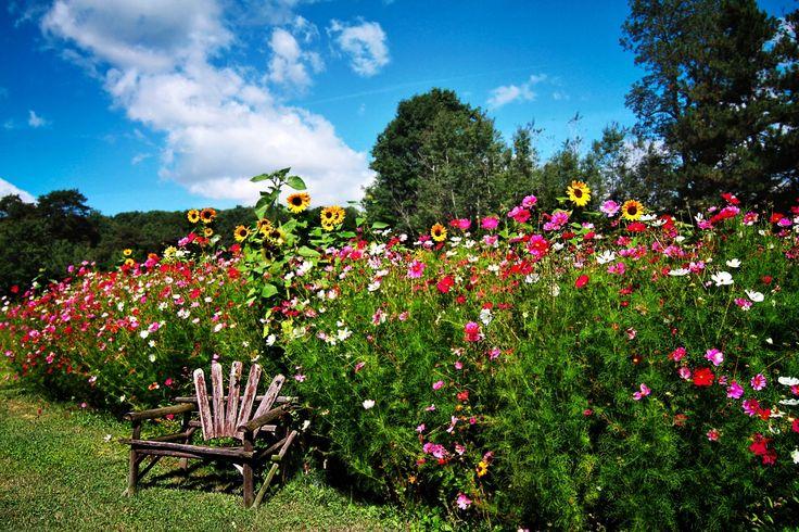 Jardíns Cosmos planta Girasols Banco Naturaleza Flores