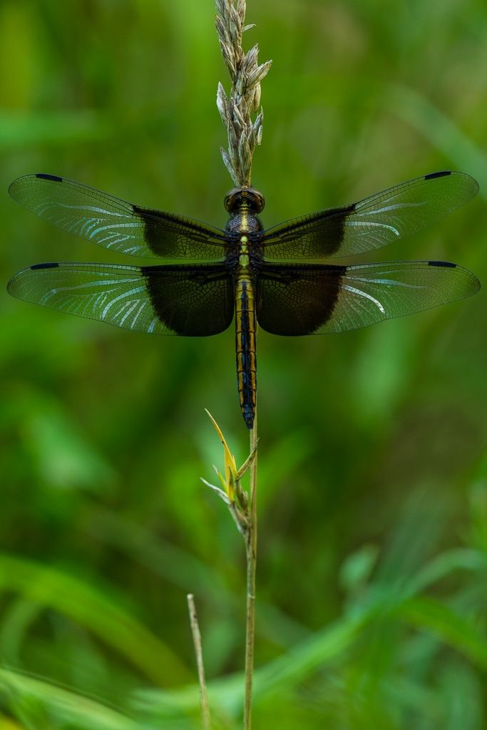 Dragon Fly. Via Ben Irvine. First time I've seen these colors and markings. Lovely!
