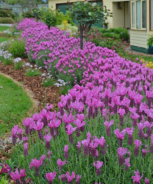 Levandulová ´Princezna´   Neonově růžové květy! Nová odrůda z Austrálie. Rostlina roku 2014!   Lavandula pedunculata ´The Princess´ Atraktivní souhra neonově růžových květů a stříbřitých šedých listů s jemnou vůní. Má úzký a kompaktní růst, proto se hodí na nízké plůtky, olemování záhonů nebo pěstování v květináči na terase. Výška: cca 50 cm. Vhodná k řezu.