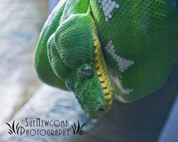 Green Snake by SueNewcombPhotos on Etsy. This snake caught my eye with his Spring green color and marble-like eyes.