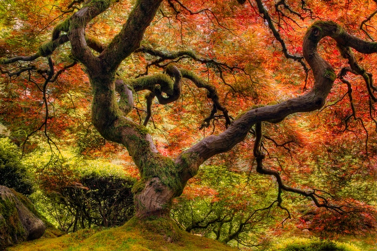 Famous tree in Portland Oregon's Japanese garden, by Frame Photography, via 500px