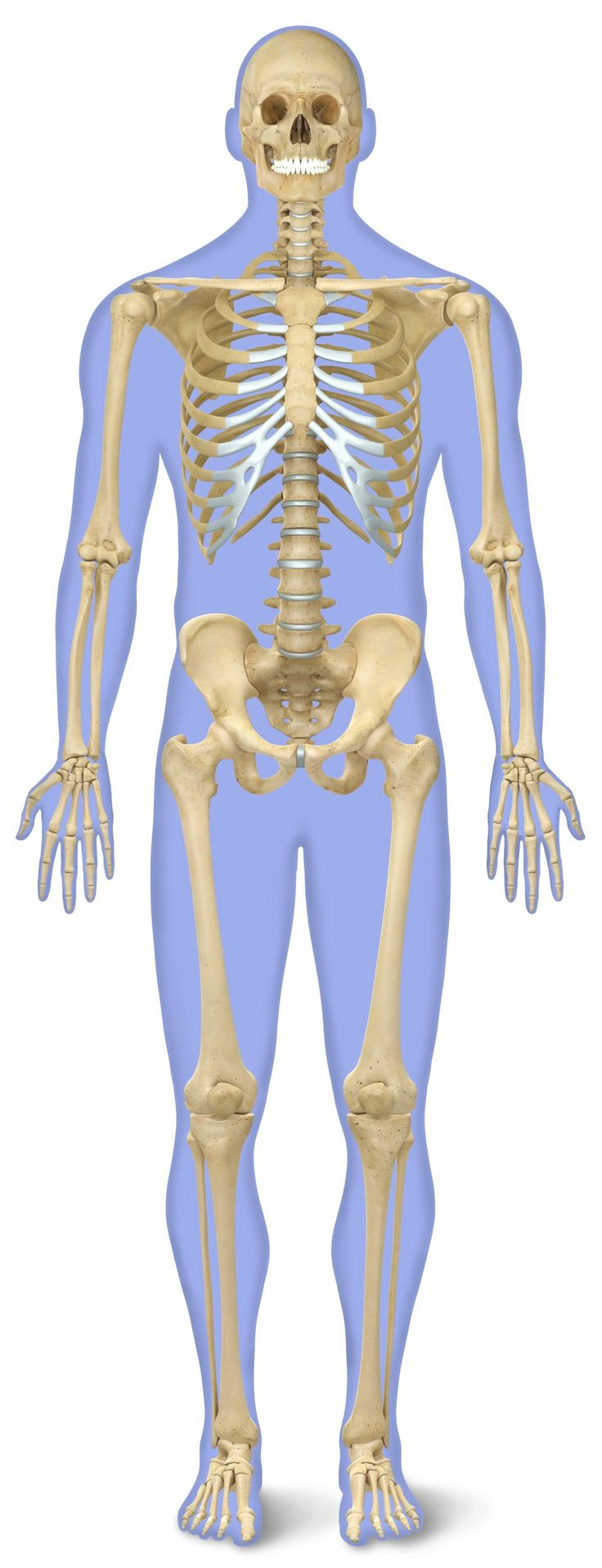 13 best skeletal system images on pinterest skeletal system