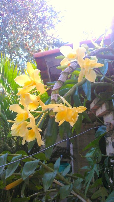 Mom's yellow orchids
