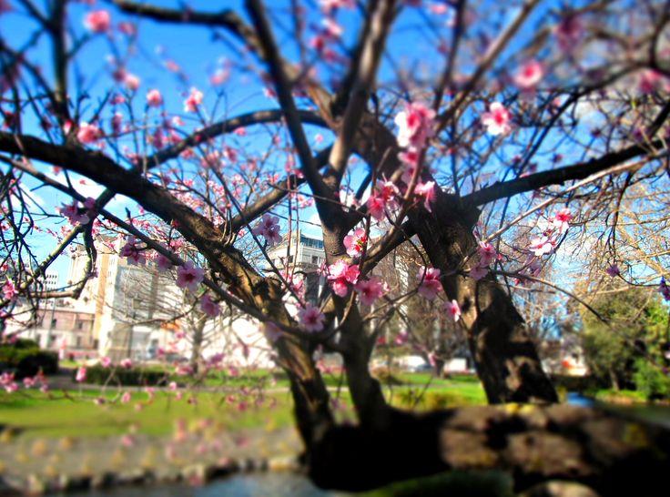 I love Cherry Blossoms! #NewZealand