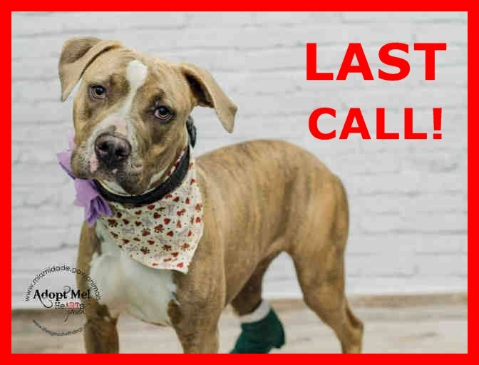 LAST CALL! LAST CALL! LAST CALL! Urgent Dogs of Miami · MISSY (A1667272) I am a female blue cream and blue smoke Pit Bull Terrier mix. The shelter staff think I am about 2 years old and I weigh 46 pounds. I was found as a stray and I may be available for adoption on 12/23/2014. https://www.facebook.com/urgentdogsofmiami/photos/pb.191859757515102.-2207520000.1420038885./899545376746533/?type=3&theater