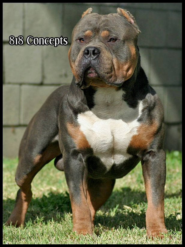 one day I will have Tri color American Bully.. I love love love them..