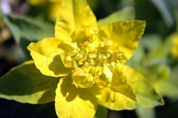spurge plant: Yellow and green Euphorbia epithymoides