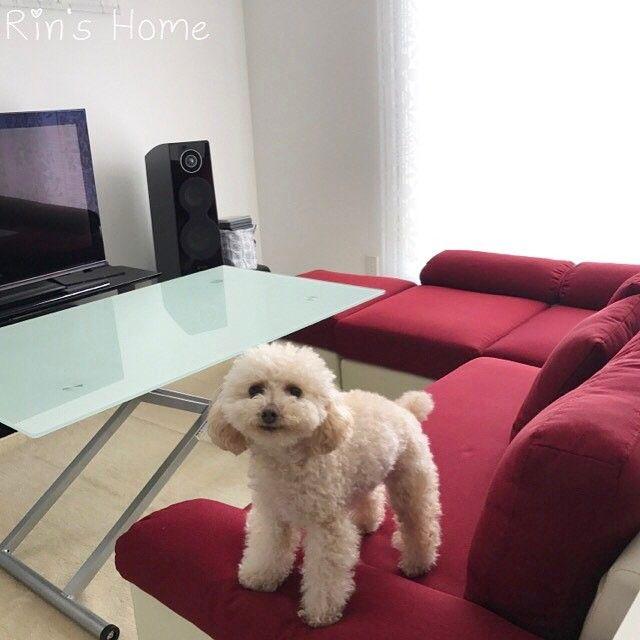 ソファーは高さがあるので、愛犬の足を気遣い、ジャンプさせないよう気をつけています。 #家 #新築 #マイホーム #myhome #house #一条工務店 #アイスマート #ranch #リビング #living #livingroom #ダイニング #ダイニングテーブル #dining #diningtable #diningroom #ldk #ソファ #ソファー #sofa #テーブル #table #インテリア #interiors #犬 #dog #トイプードル #toypoodle #愛犬 #lovemydog