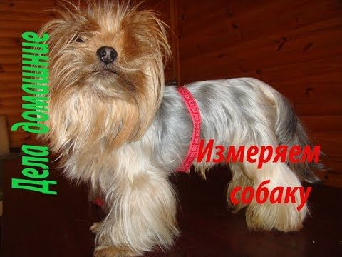 *Как снять мерки с собаки. Полная версия на канале ''Дела домашние''.