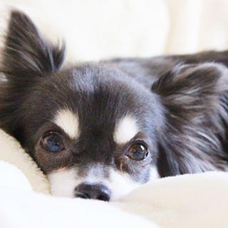 . 🐶チワワ 出身地:メキシコ 性格:忠実、用心深い 飼い方:冬は防寒対策 #インスタドッグ #犬 #dog #わんこ #わんこ大好き #わんこのいる生活 #わんこのいる暮らし #犬のいる生活 #愛犬 #犬好きさんと繋がりたい #カメラマンと繋がりたい #いぬすたぐらむ #チワワ