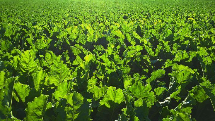 #backlight #backlit #farming #green #sugar beet #sugar beet field in backlight #sunrise