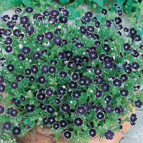 PRINS GUSTAFS ÖGA 'Pennie Black' i gruppen Ettåriga blomsterväxter hos Impecta Fröhandel (8592)