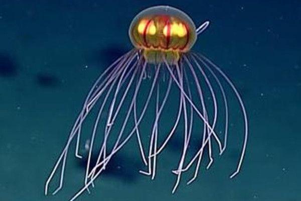 Scoperta nuova specie di medusa nella fossa delle Marianne, sembra un UFO