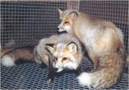 red fox in oceania essay Category: essays research papers title: the effects of foreign species  essay  about the coastal ecosystem of bay of bengal  essay red fox in oceania.