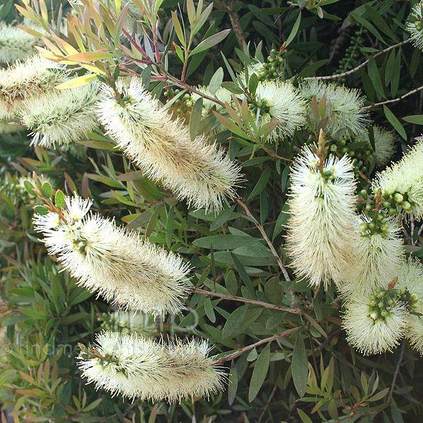 Callistemon Pallidus - 3m high, 2m across, frost hardy, full sun/part shade, Spring/Summer flowering