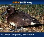 Madagascar pochard videos, photos and facts - Aythya innotata | Arkive