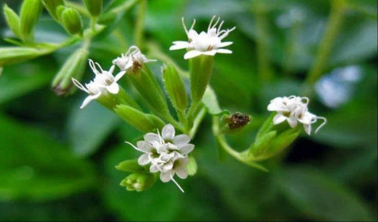ΣΤΕΒΙΑ Το βότανο που σταματά την επιθυμία για κάπνισμα