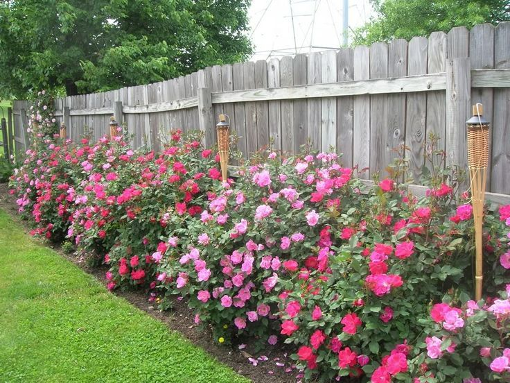 25 Best Ideas About Landscaping Along Fence On Pinterest Fence Landscaping Privacy Fence Landscaping Along Fence Knockout Roses Lawn And Garden