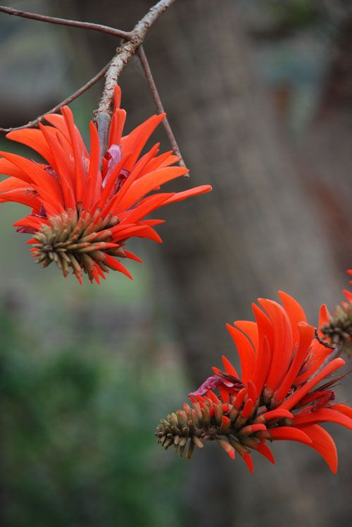 The Common Coral Tree is currently flowering at Likweti - its distinctive scarlet colour announces the beginning of spring and it is also known as the lucky bean tree! We hope it brings you lots of luck for summer!