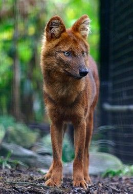 The Dhole also called the Asiatic wild dog or Indian wild dog, is a species of canid native to South and Southeast Asia. The dholes are classed as endangered by the IUCN, due to ongoing habitat loss, depletion of its prey base, competition from other predators, persecution and possibly diseases from domestic and feral dogs. In the summer the dhole reverts to his darker, sleeker coat. http://en.wikipedia.org/wiki/Dhole