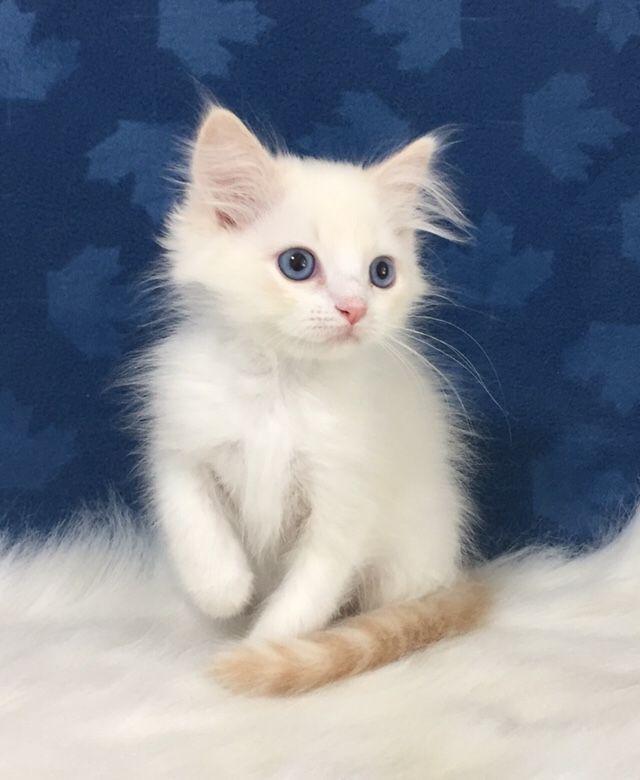 Ragdoll Kittens For Sale Ontario Canada O Canada Ragdolls Ragdoll Kitten Ragdoll Kittens For Sale Kitten For Sale