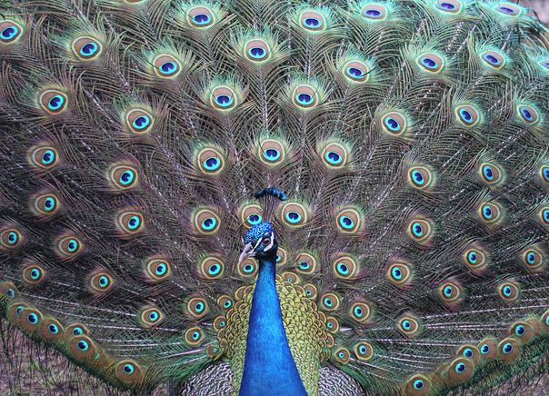 A peacock shows his fan in full display