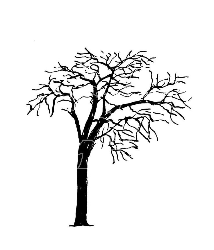 Flower Tree Line Drawing : Honey locust black and white tree drawings on