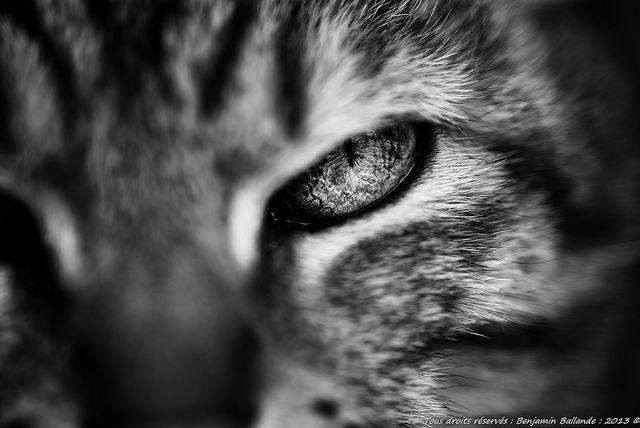 Cat Portrait : Nikon D600 ; Sigma 105 macro | Flickr: Intercambio de fotos