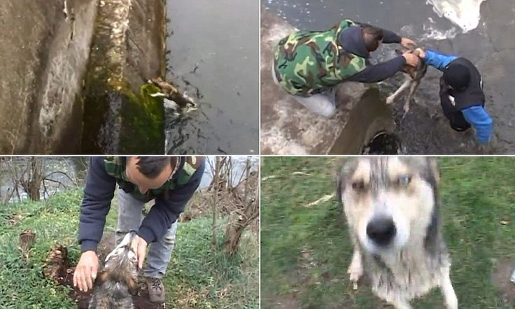 """nowhere do we all find more common ground than in our love for dogs; """"Dog trapped in icy river in Romania shows his gratitude to man rescued him #DailyMail"""