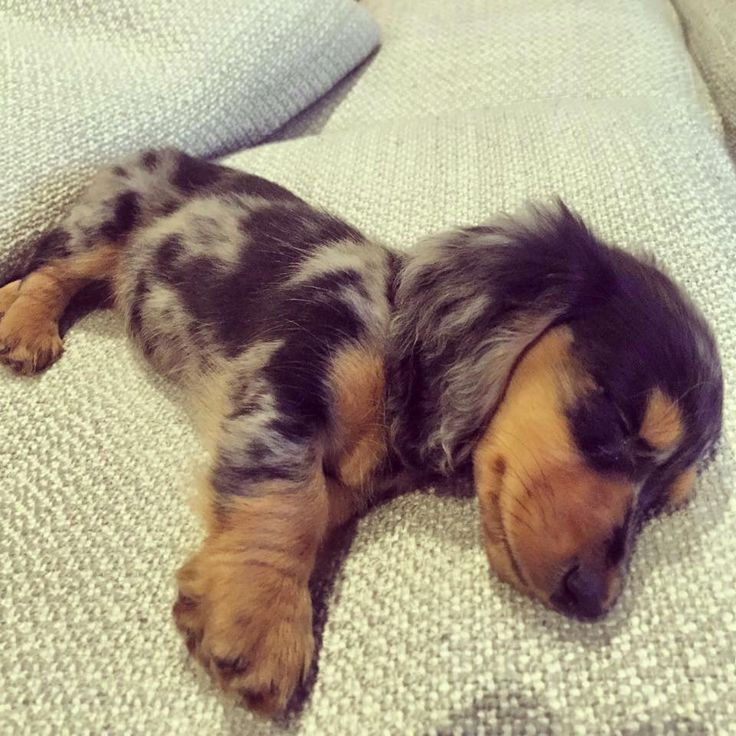 Where Can I Fine A Wiener Puppy Dog For Sale