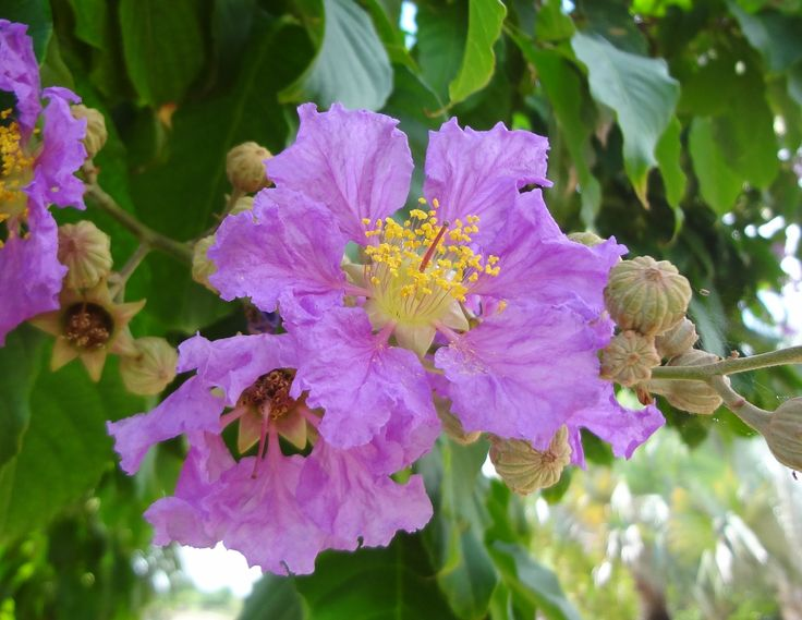 A purple beauty, Lagerstroemia speciosa, Queen Crape Myrtle
