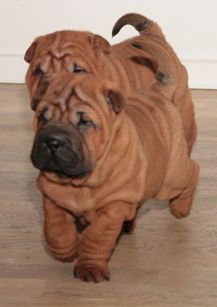 Shar Pei Dog Puppy