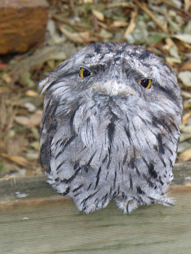 Not to be confused with owls, the frogmouth is a nocturnal bird native to Southeast Asia and Australia. Strange looking!