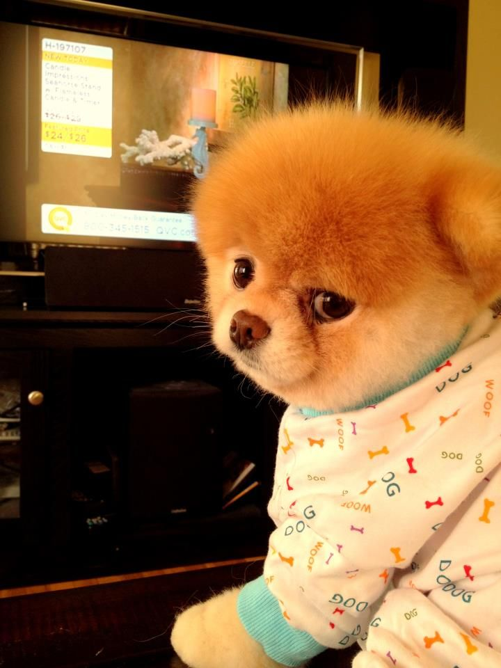 Boo Makes Pjs Look Good Boo The Dog Pinterest Cas