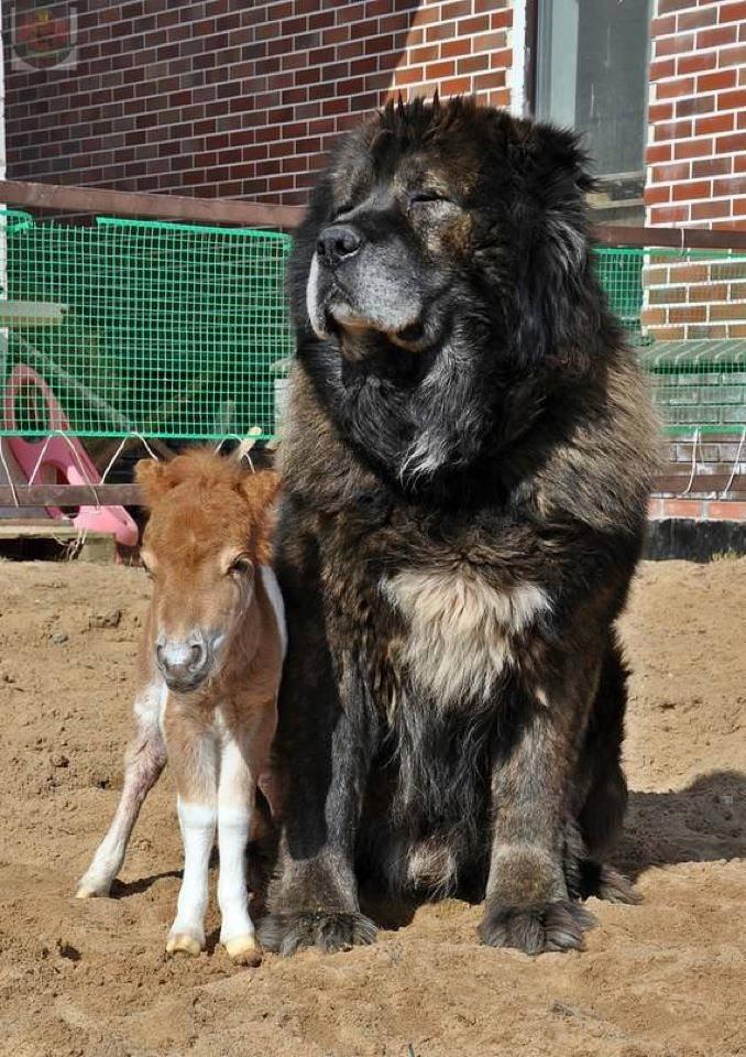 Most Inspiring Tibetan Mastiff Chubby Adorable Dog - d40ae59a0e2004d33bfb01698a9200bc--big-fluffy-dogs-tibetan-mastiff  2018_2661  .jpg