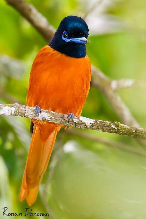 Red-bellied paradise flycatcher