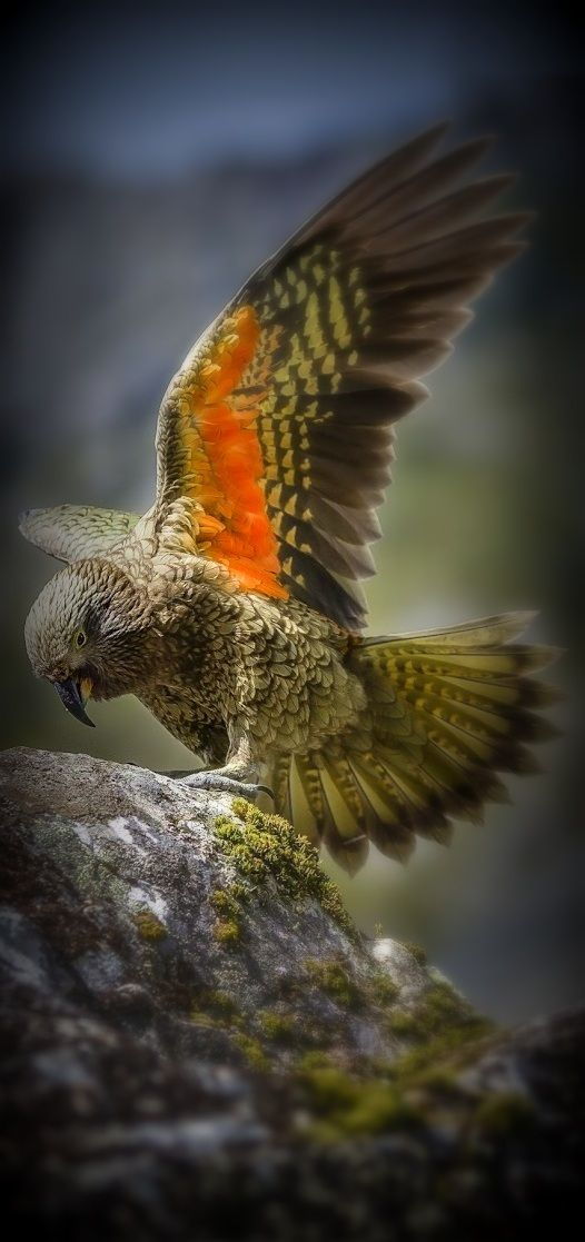 A Kea: New Zealand's Endemic Alpine Parrot, The Only Alpine Parrot in The World.