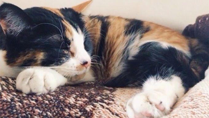 Cat Facts Why Are Calico Cats Almost Always Female Cattime Katzen Fakten Schildpatt Katze Menschen Gesellschaft