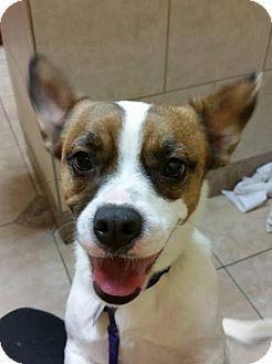 Northville, MI - English Bulldog/Corgi Mix. Meet Cadence, a dog for adoption. http://www.adoptapet.com/pet/17428287-northville-michigan-english-bulldog-mix