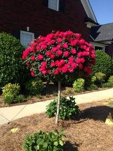 Red Knockout Rose Trees | Red Patio Rose Tree for Sale | Fast Growing Trees