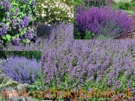 """Kocúrnik záhradný, mačacia bylinka """"SUPERBA""""  – ( Nepeta faassenii """" Superba """" L.) 1,99 € / rastlinka v kvetináči"""
