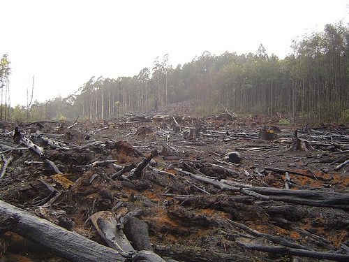 "Palm Oil Deforestation | Oil palms, originally from West Africa and South America, thrive in the tropics. Its introduction into Southeast Asia, including Malaysia and Indonesia, is a main drive of deforestation in those countries. Up to 300 football fields of forests are destroyed every hour for oil palm expansion. Indonesia, the largest producer of palm oil, made headlines when they were published in the 2008 Guinness World Records for the ""Fastest Forest Destroyer."""