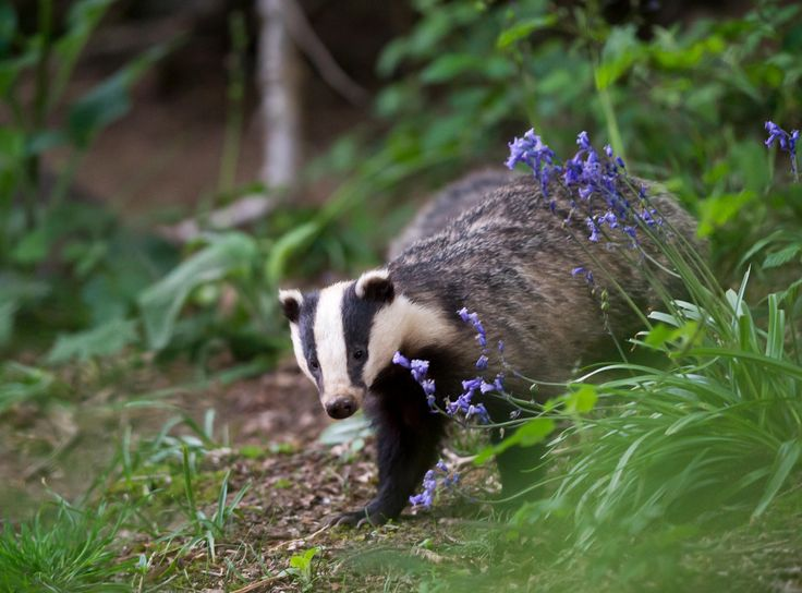 European badger foraging in woodland, East Sussex, England