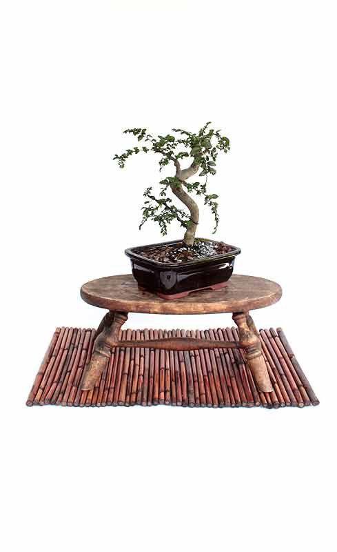Japanese Zelkova  bonsai tree by LiveBonsaiTree on Etsy, $29.00