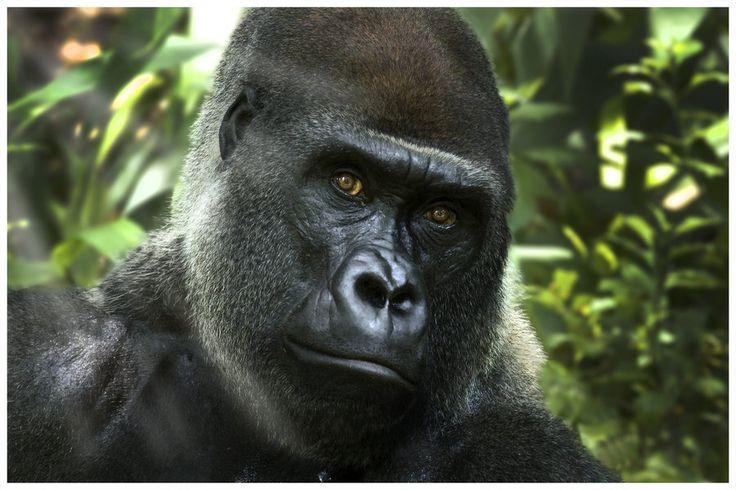 Gorilla's Stare by ~Zx30 on deviantART