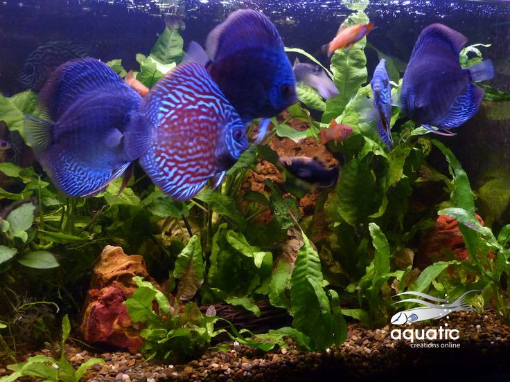 The 25 Best Discus Fish For Sale Ideas On Pinterest