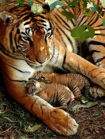 I pray these gorgeous Tigers keep reproducing like this and are totally PROTECTED!!